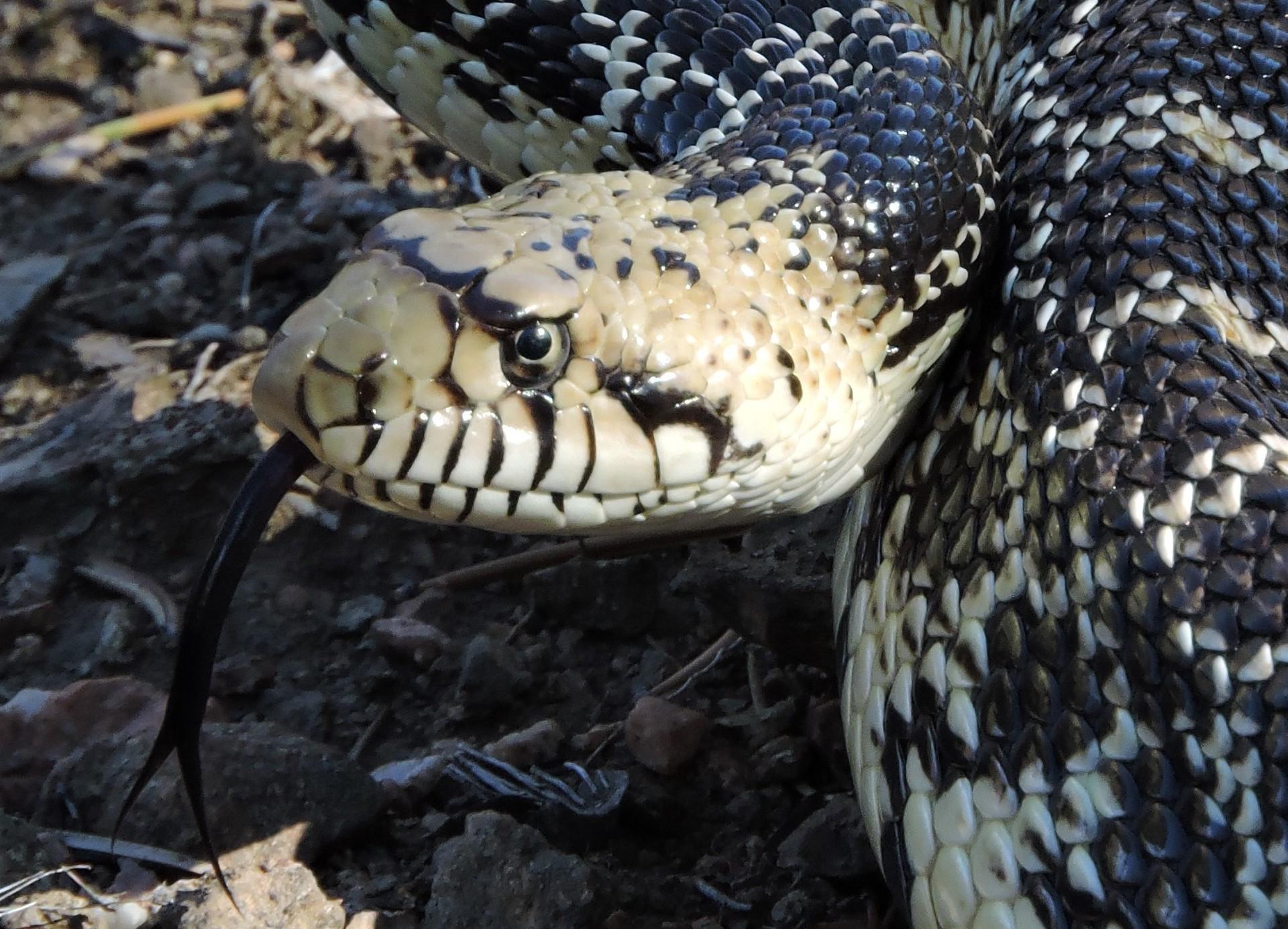 Monster Bull Snake