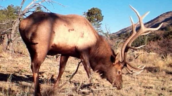 King Elk