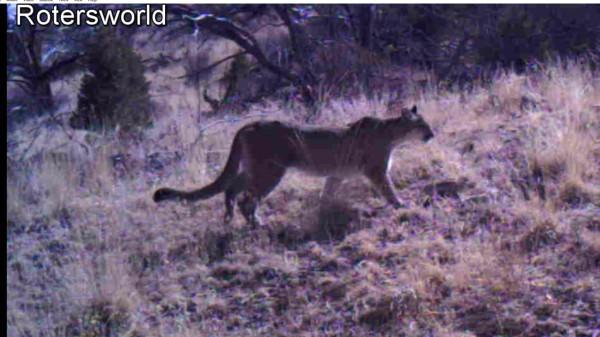Adonian Cougar patrol