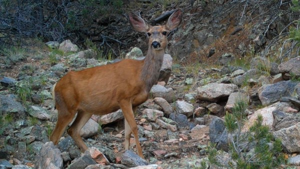Pretty Mule Deer