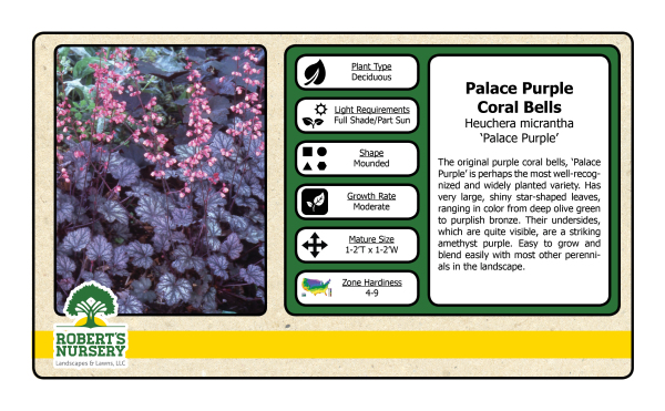 Coral Bell - Palace Purple