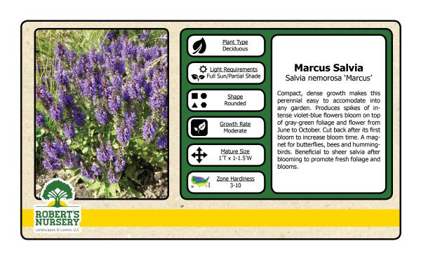 Salvia - Marcus