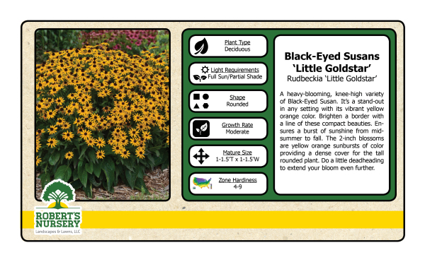 Black Eyed Susan - Little Gold Star