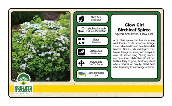 Spirea - Glow Girl