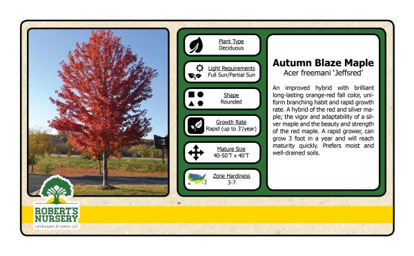 Maple - Autumn Blaze