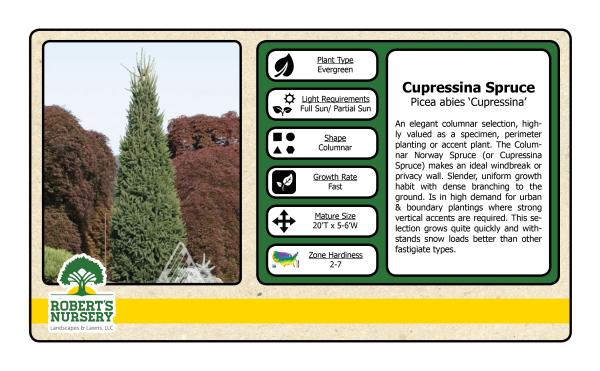 Spruce - Curpressina