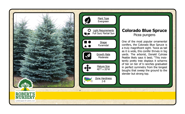 Spruce - Colorado Blue