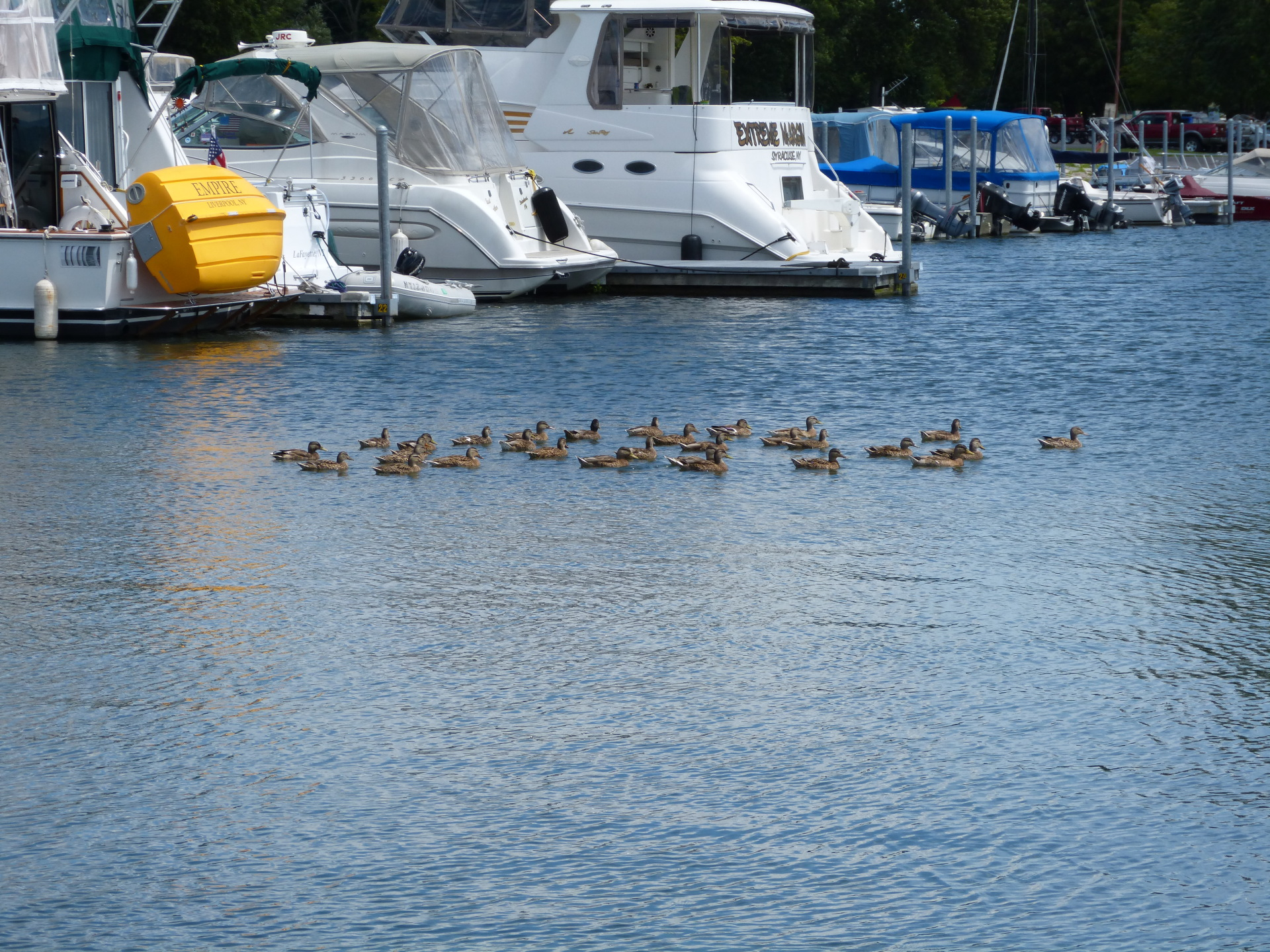 Ducks in the Marina