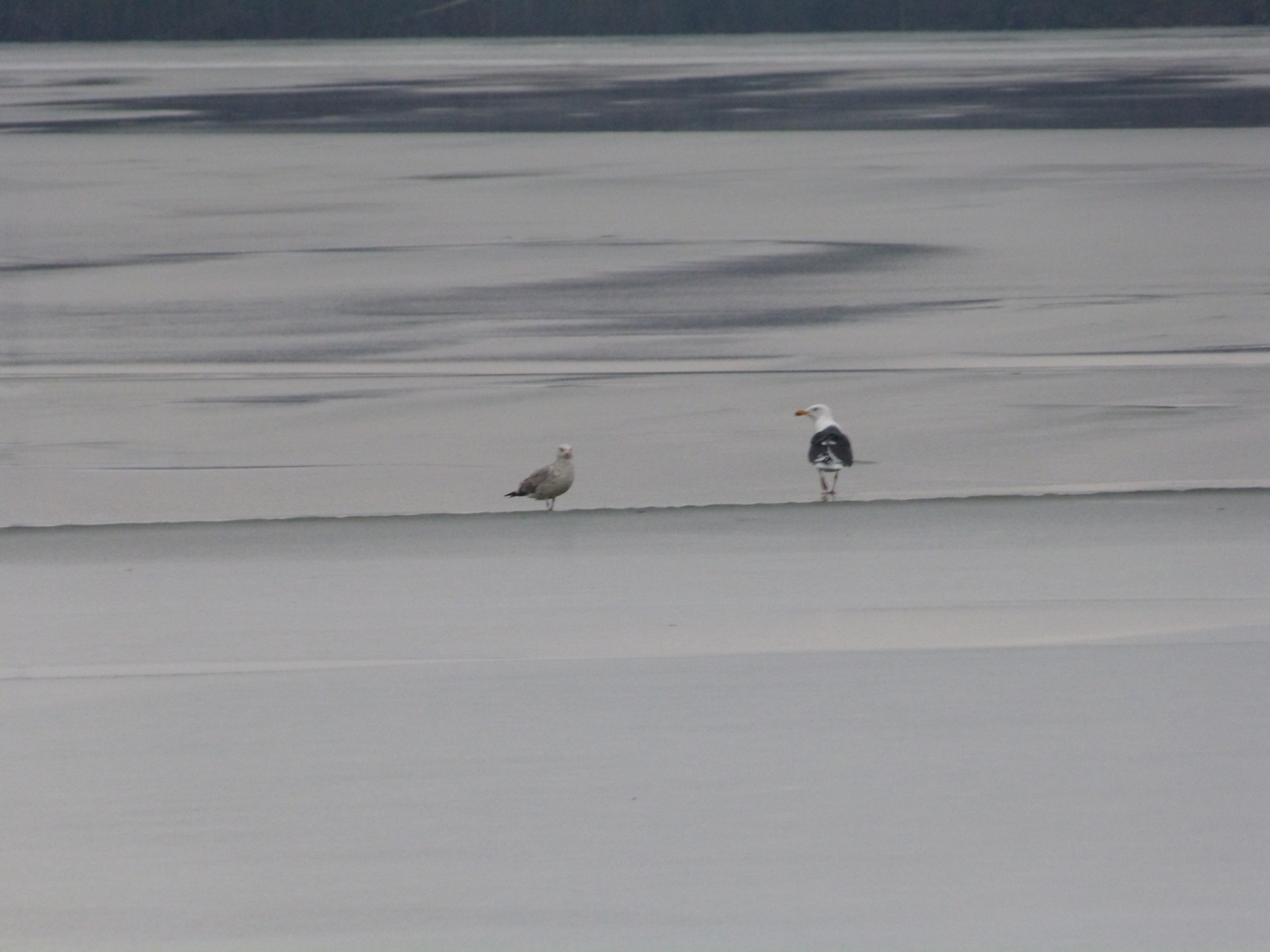 Gulls on the Ice