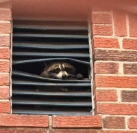 Raccoon looking out of attic vent