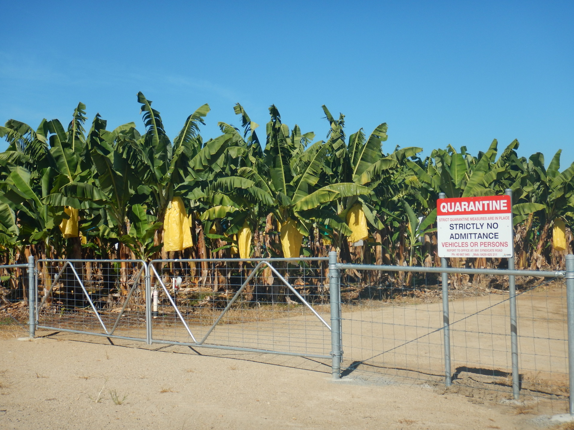 Insights into Australia's Banana Development and Extension Programs