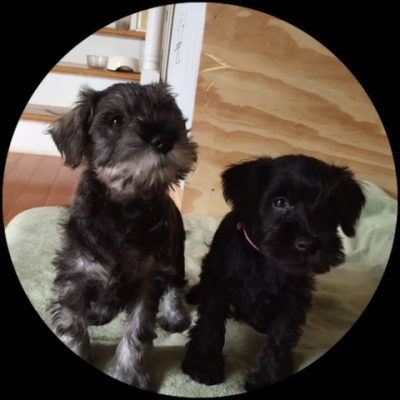 If you looking for miniature schnauzers, you don't need to go any further! Click here..