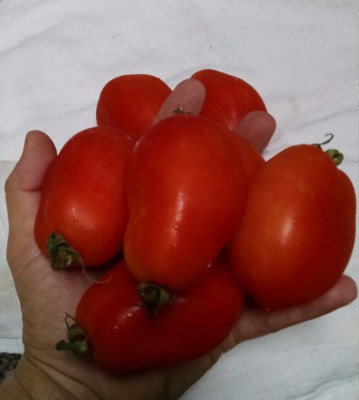 Hand full of Roma Tomatoes picked today!
