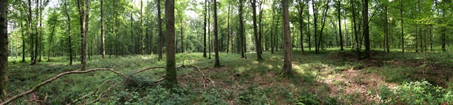 Panoramic of Red line forest