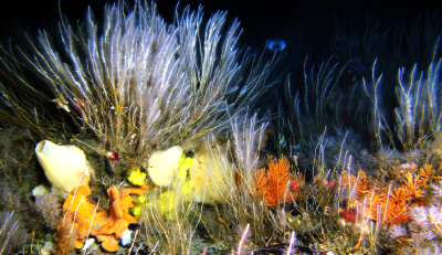 South Atlantic Darwin Projects lead to the Discovery of Growing Carbon Sinks around Antarctic Island