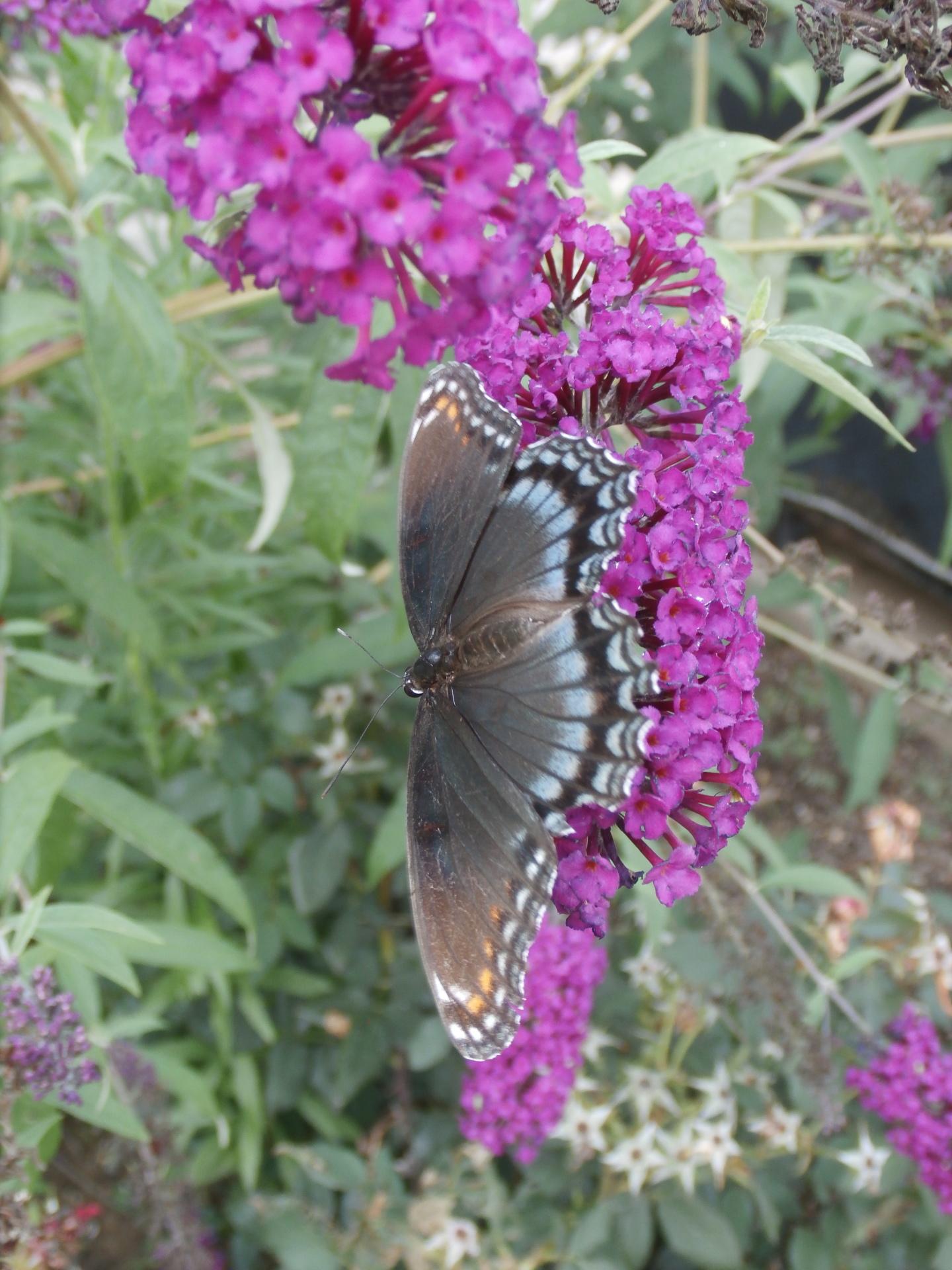 Butterfly  Hangout