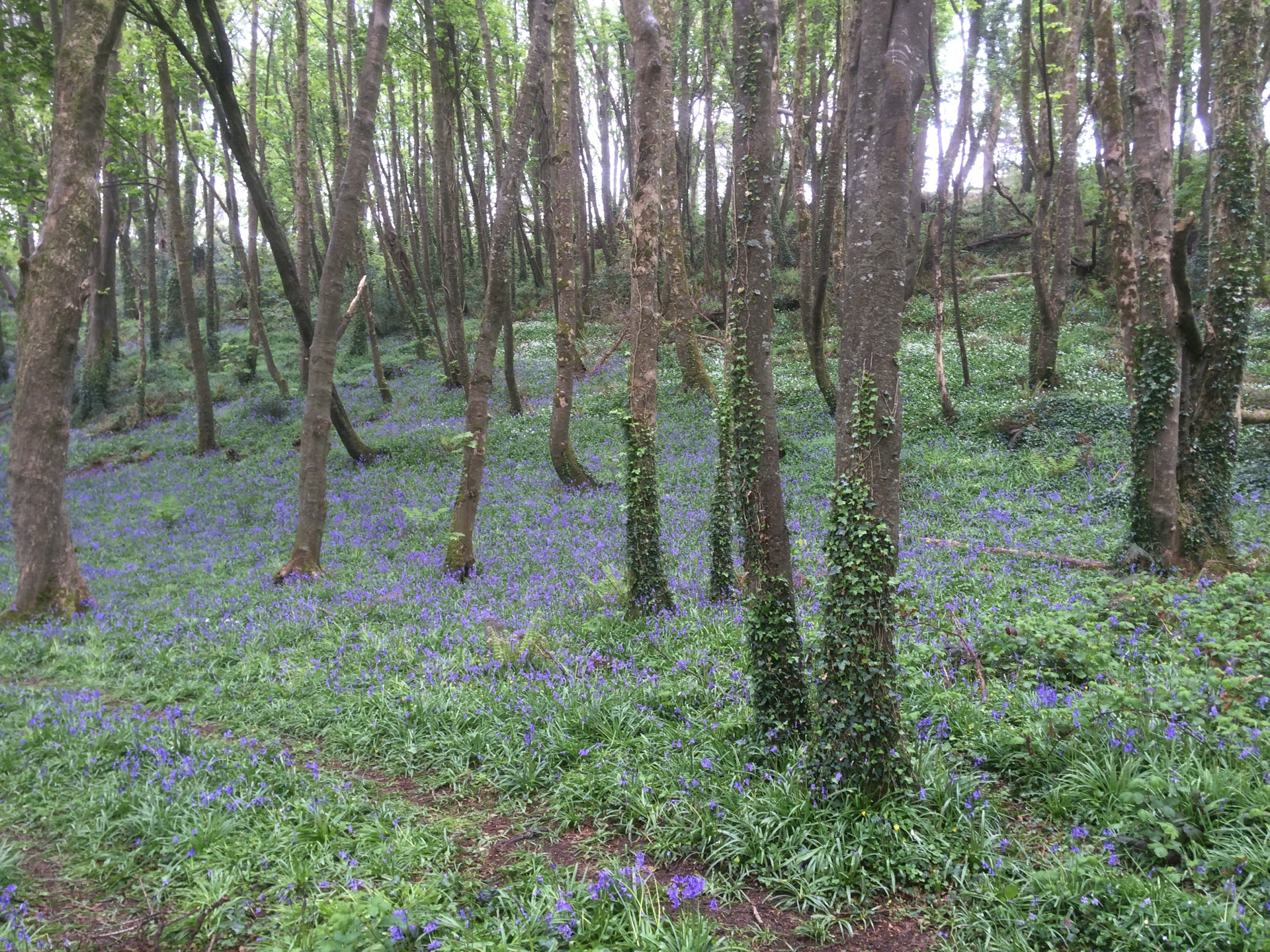 2016-05-08 Bluebell Walk