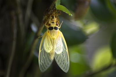 fine art photography, Cicada