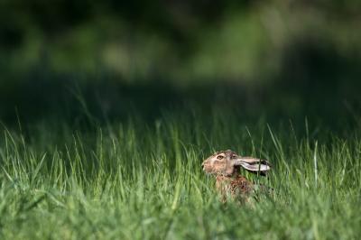 Do hares lay eggs?