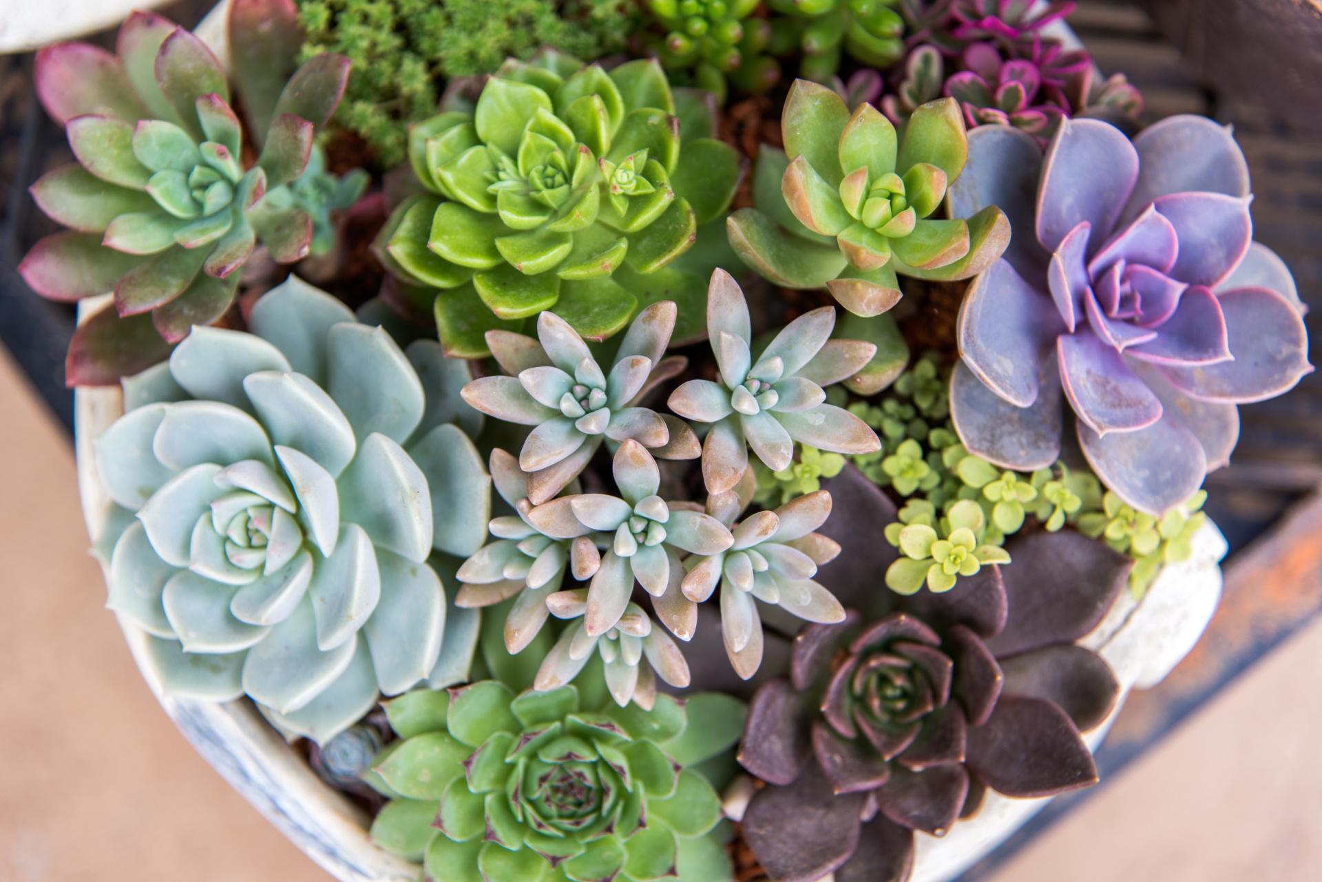 Succulents, Softscape, Succulent Plant Material