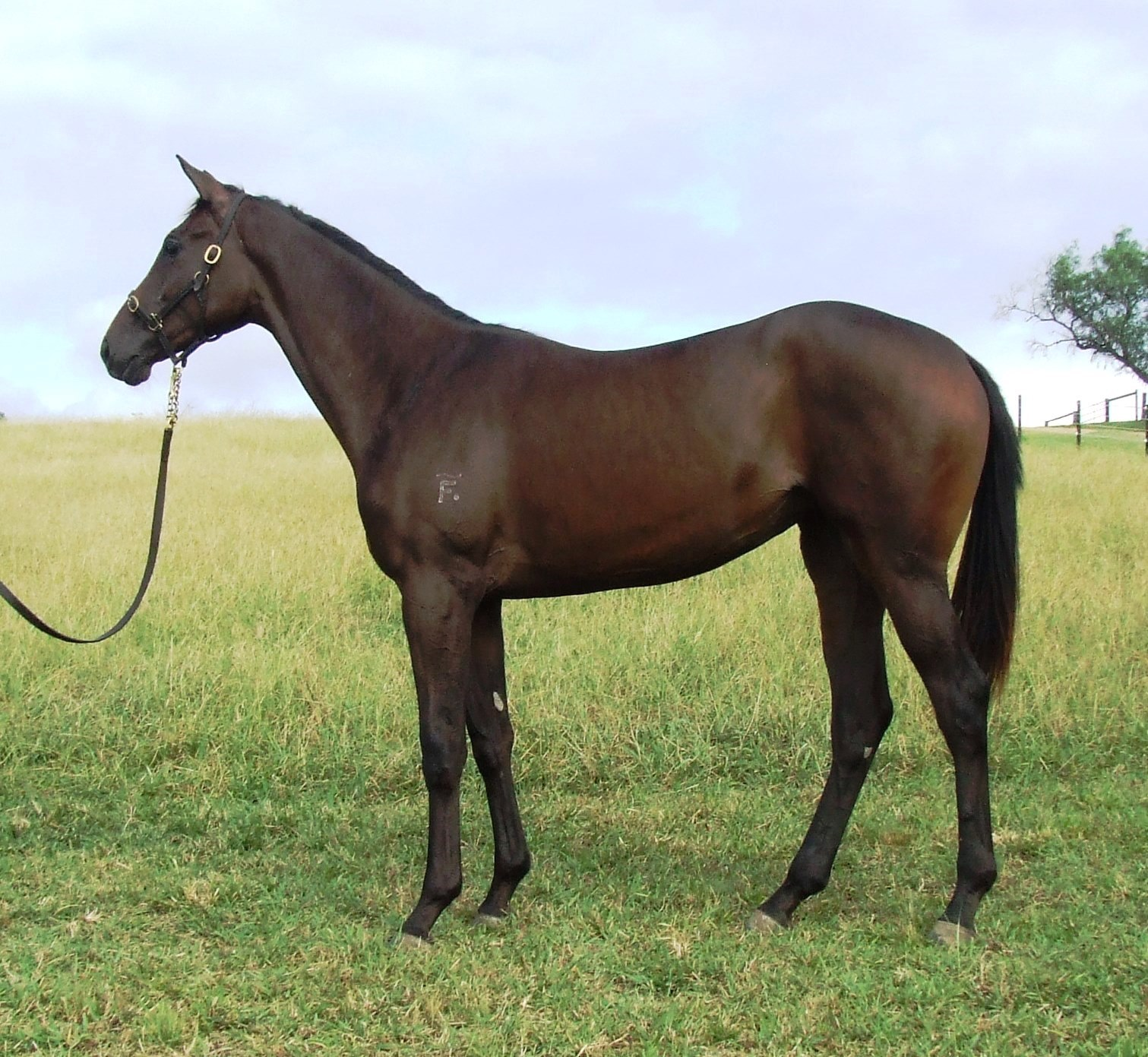 Rothesay x Falcrest Filly