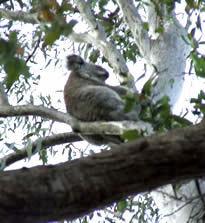 Find the local Koala