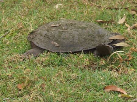 Wandering turtle from the creek