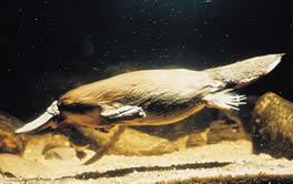 See the local platypus at daylight and dusk