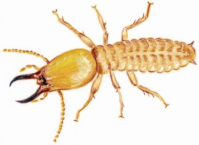 Things you need to know about Termites
