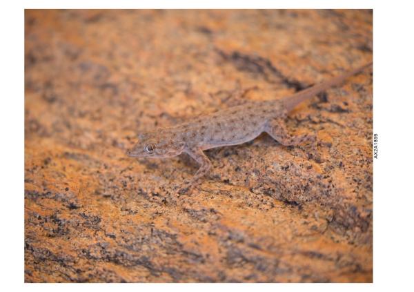 Little lizard near Messem Crater