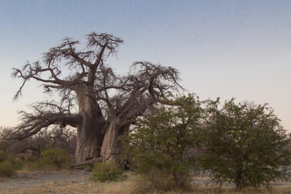 A little tree for Brockway green - Baobab