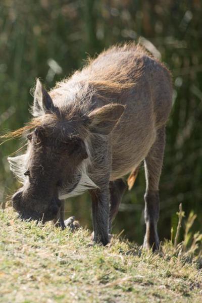 Warthog in Moremi