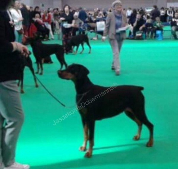 Kodi at Crufts