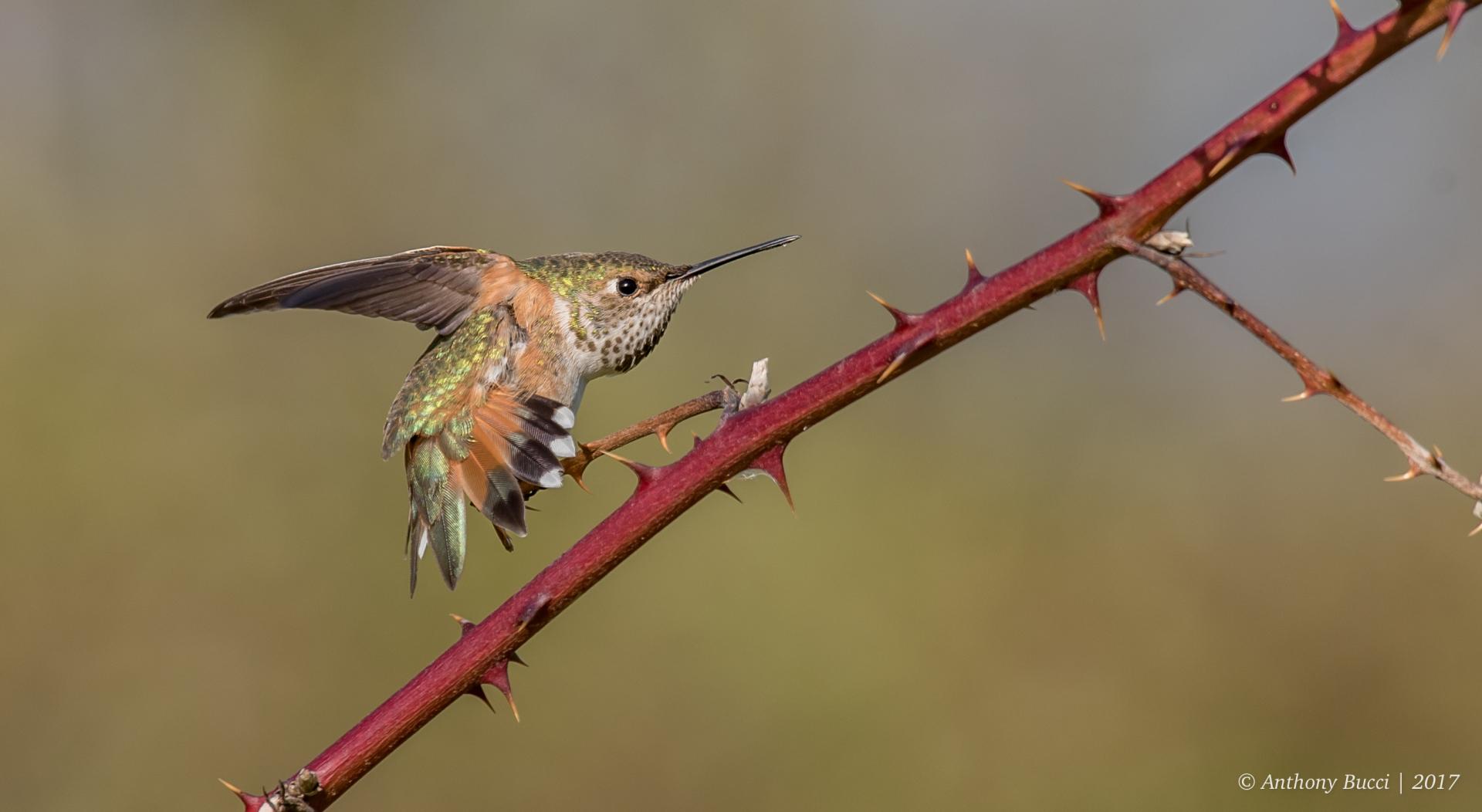 My Best Hummingbirds of 2017