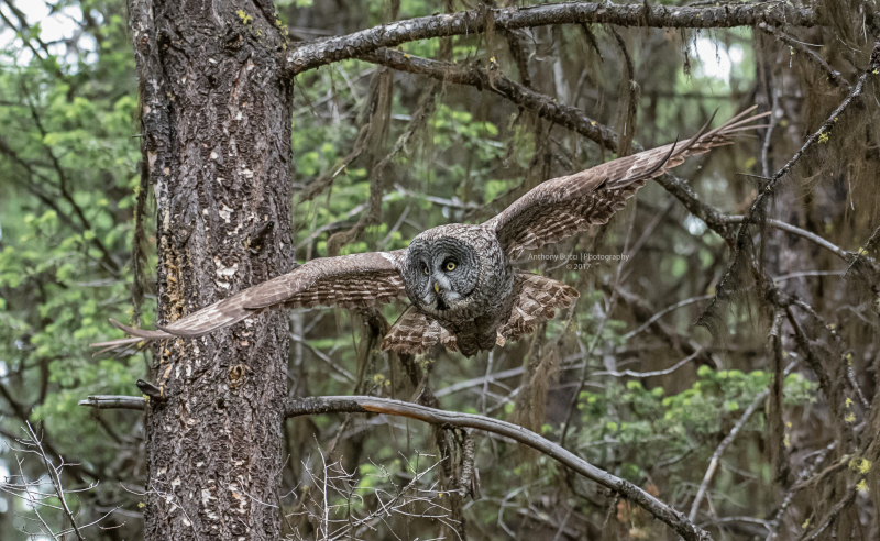 Interior Great Gray Owl trip