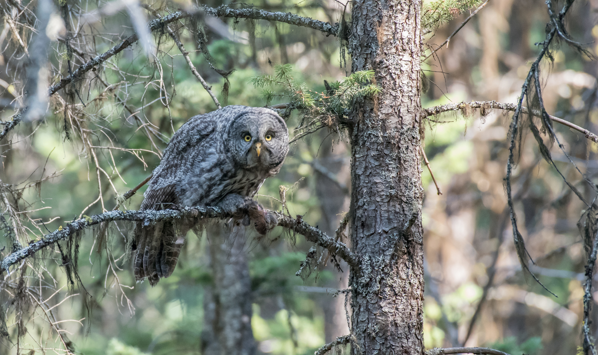 Great Gray Owl trip # 2