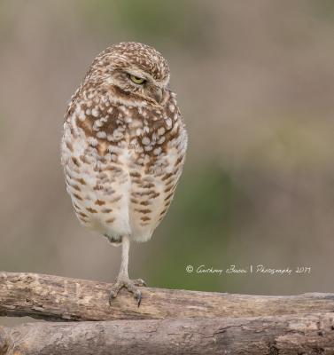 Burrowing Owl attitude