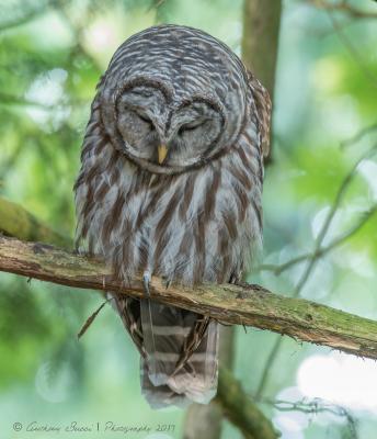 Barred Owl sleeping