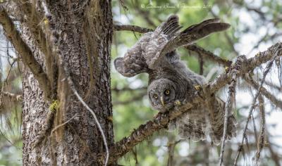 Gret Grey Owlet stretching