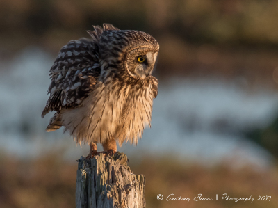 Short-eared Owl puffed up during sunset