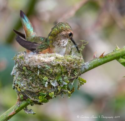 Rufous Hummingbird repairing her nest