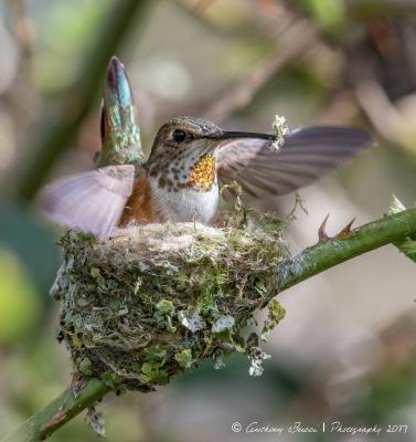 Rufous Hummingbird with Lichen