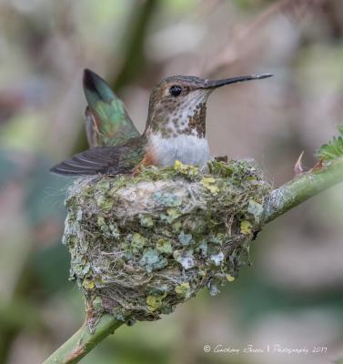 Rufous Hummingbird keeping her eggs warm