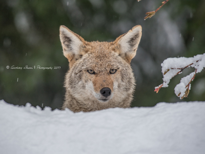 Coyote headshot in the snow