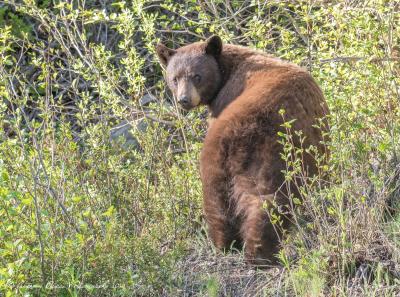 Cinnamon phase Black bear
