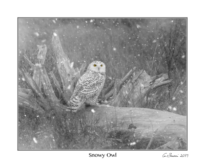 Composite Snowy Owl 8x10 Print only