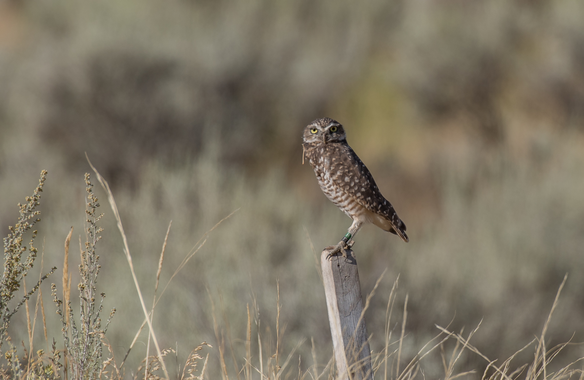Burrowing Owls of British Columbia, Canada