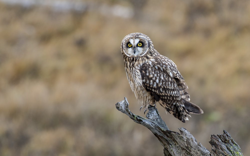 Winter 2018 Short-eared Owl