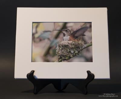 Rufous Hummingbird in her nest