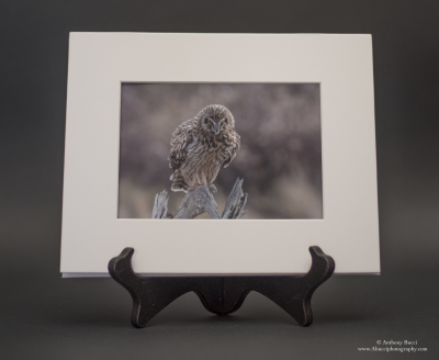 Short-eared Owl Attitude  5x7 Matted Print